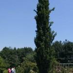 Árboles columnares aislados (y II)