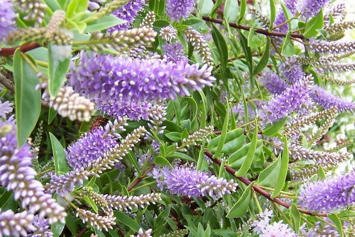 Plantas para setos cerca del mar ii alicante forestal for Hebe arbusto