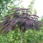 Especial de plantas de hojas rojas
