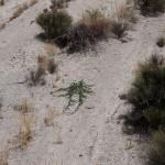 El uso forestal de la Tapenera (Capparis spinosa)