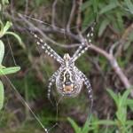 Miercoles de fondos forestales: hoy «Argiope lobata»