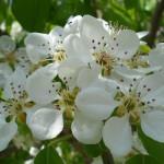 Miércoles de fondos, hoy flor de peral
