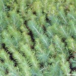 Miércoles – Fondos. Hoy plantón de pino carrasco
