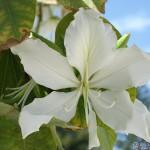Variaciones de «Bauhinia sp.» en flor