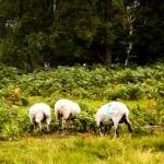 Descubren el huevo frito: Utilizar ovejas reduce el riesgo de incendios