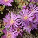 """Xerojardinería: """"Drosanthemum hispidum"""""""