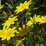 Fondo de hoy: «Blackstonia perfoliata»