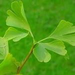Curiosidades del «Ginkgo biloba»