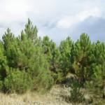 Fondo de hoy: «Pinus pinaster»