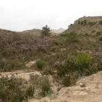 «Erica multiflora», el brezo