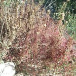 «Cuscuta epithymum», bonita planta parásita