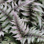Cinco tipos nuevos helechos en nuestros jardines verticales